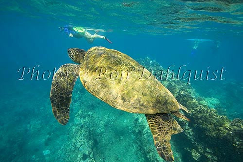 Underwater view of Green Sea Turtle, Maui, Hawaii Picture