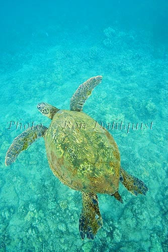 Underwater view of Green Sea Turtle, Maui, Hawaii Photo Stock Photo