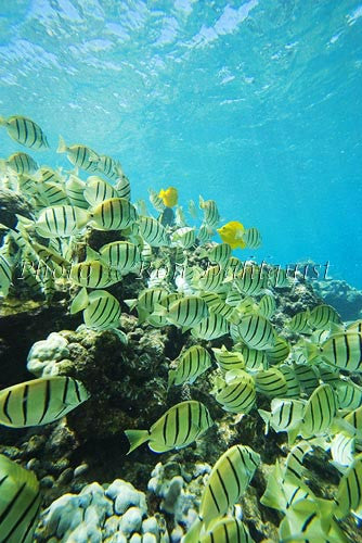 School of Hawaiian Manini or Convict Tang, Ahihi Kinau Natural Area Reserve, Maui, Hawaii Photo - Hawaiipictures.com