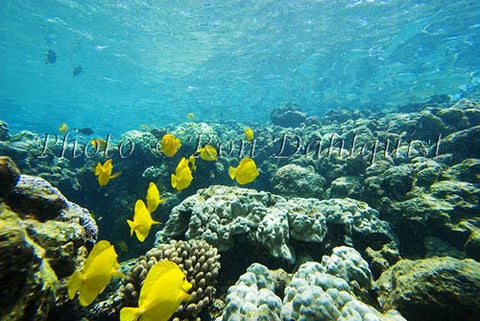 Snorkeling with Yellow Tang, Ahihi Kinau Natural Area Reserve, Maui, Hawaii - Hawaiipictures.com