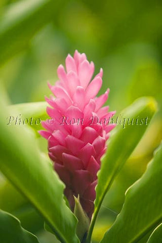 Pink ginger, Hana, Maui, Hawaii Picture