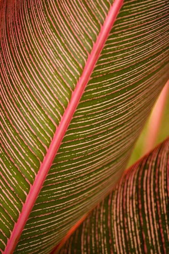 Close-up of variegated Ti leaves, Maui, Hawaii Photo