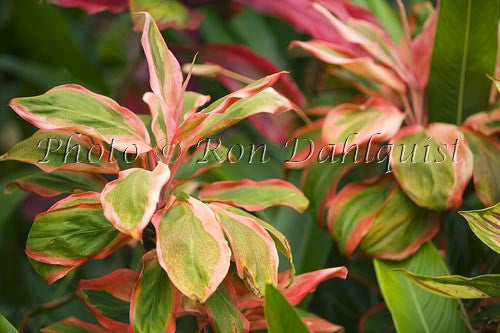 Close-up of variegated Ti leaves, Maui, Hawaii Picture Photo Stock Photo
