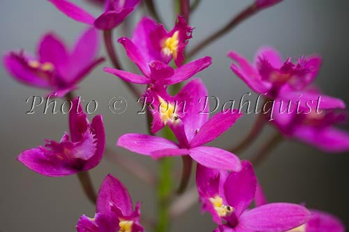 Purple epidendrum orchid. Maui, Hawaii