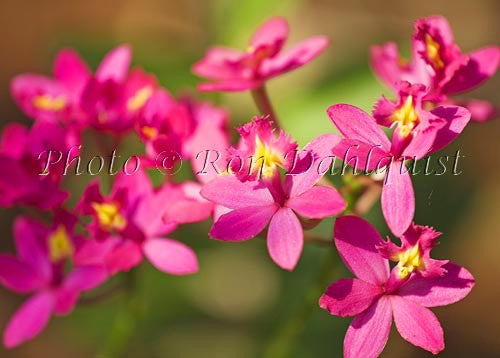 Purple epidendrum orchid.