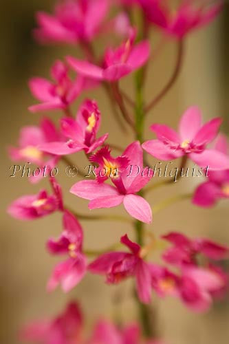 Epidendrum orchid, Hawaii Picture