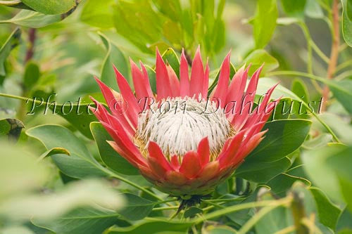 King Protea, Upcountry Maui, Hawaii Picture