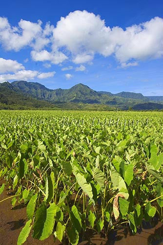 Taro fields, Hanalei, Kauai, Hawaii Photo - Hawaiipictures.com