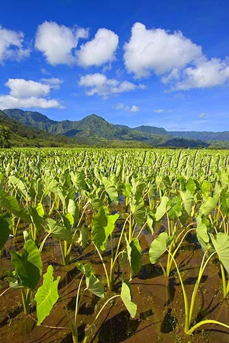 Taro fields, Hanalei, Kauai, Hawaii Picture Photo