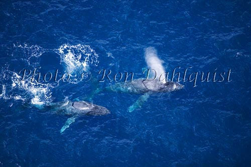 Humpback Whales swimming in the waters surrounding Maui, Hawaii Photo