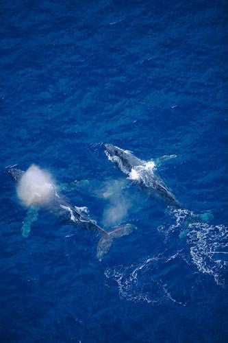 Humpback Whales swimming in the waters surrounding Maui, Hawaii Picture Photo