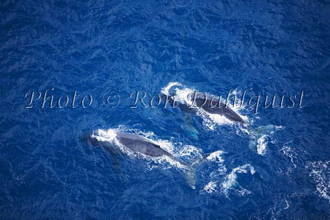 Humpback Whales swimming in the waters surrounding Maui, Hawaii