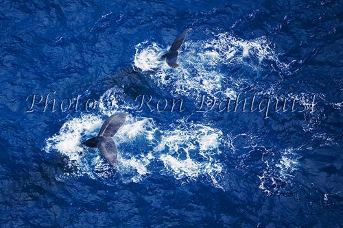 Humpback Whales swimming in the waters surrounding Maui, Hawaii Picture
