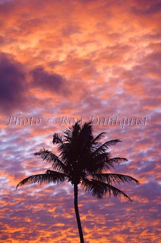 Silhouette of palm tree against colorful sunset, Maui, Hawaii Picture