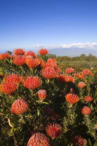 Pin cushion Protea blossoms, Kula, Maui