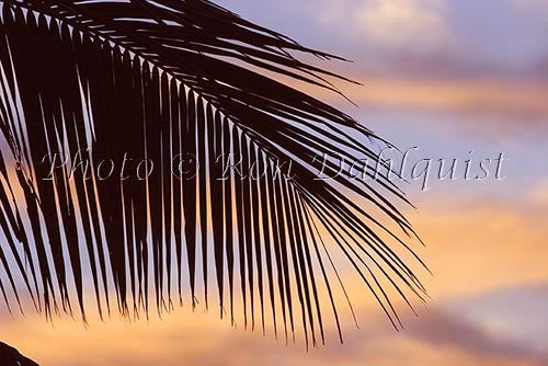 Silhouette of palm frond, Maui, Hawaii