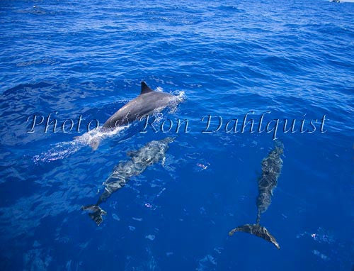 Spinner dolphins off the coast of Lanai, Hawaii Picture Photo
