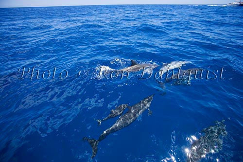 Spinner dolphins near Lanai, Hawaii - Hawaiipictures.com