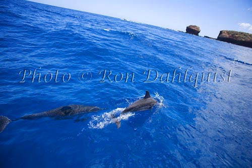 Spinner dolphins off the coast of Lanai, Hawaii