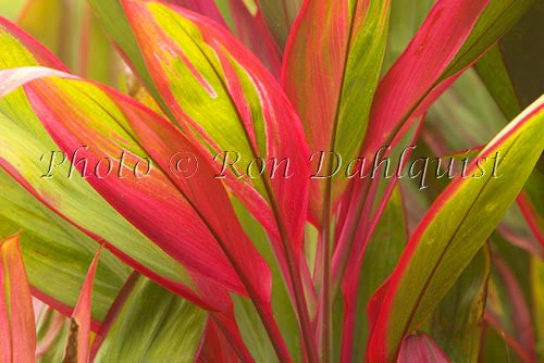 Variegated Ti leaves, Maui, Hawaii Picture - Hawaiipictures.com