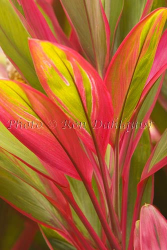 Variegated Ti leaves, Maui, Hawaii Picture Photo