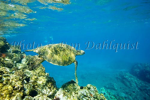 Underwater view of Green Sea Turtle, Maui, Hawaii Picture Photo Stock Photo