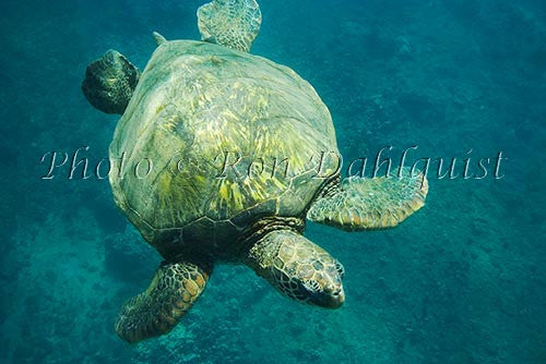 Underwater view of Green Sea Turtle, Maui, Hawaii Picture Stock Photo Print - Hawaiipictures.com
