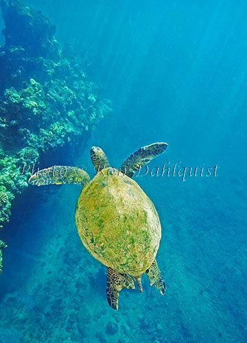 Underwater view of Green Sea Turtle, Maui, Hawaii Photo Print