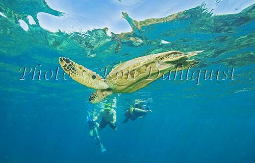 Underwater view of Green Sea Turtle, Maui, Hawaii Picture Photo Print