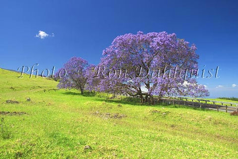 Jacaranda in bloom, upcountry Maui, Hawaii