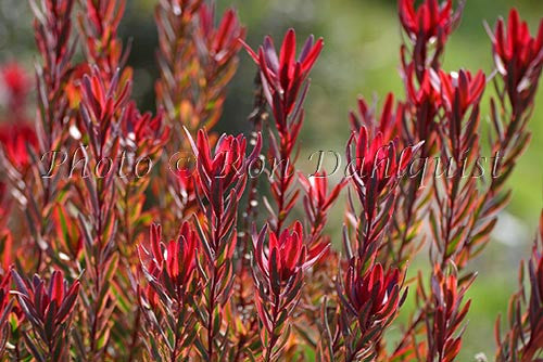 Leucadendron, Jester protea blossoms, located in Kula, Upcountry Maui, Hawaii