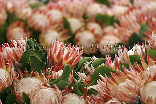 King protea, located in Kula, Upcountry Maui, Hawaii