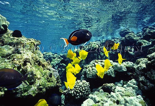 Underwater view of fish and coral at La Perouse, Maui, Hawaii Picture