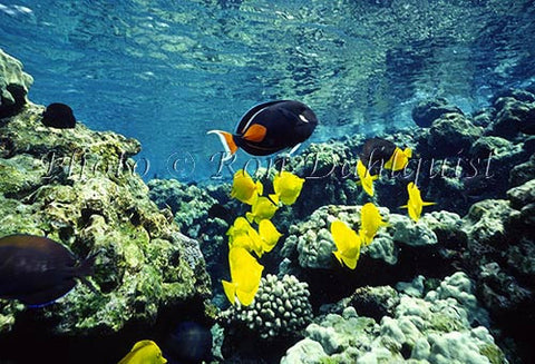 Underwater view of fish and coral at La Perouse, Maui, Hawaii Picture - Hawaiipictures.com