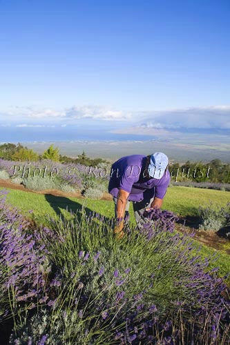 Alii Chang, owner of Alii Kula Lavendar Farm, picking lavendar, Upcountry Maui Picture - Hawaiipictures.com