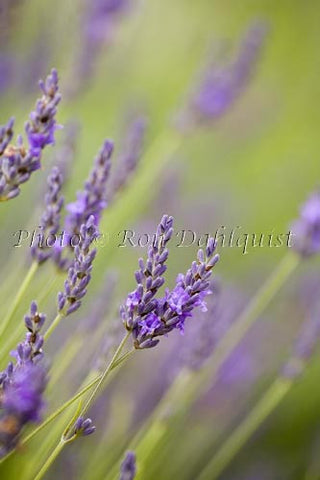 Fields of lavendar at the Alii Kula Lavendar Farm in upcountry Maui, Hawaii - Hawaiipictures.com