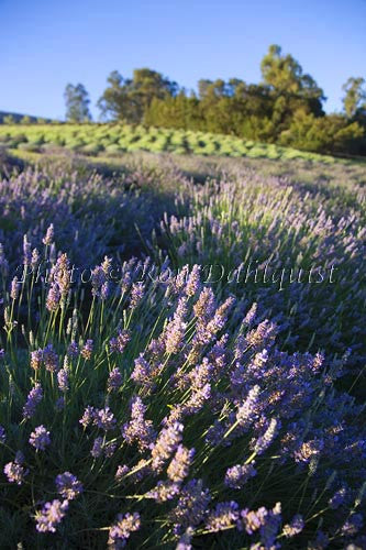 Fields of lavendar at the Alii Kula Lavendar Farm in upcountry Maui, Hawaii Picture