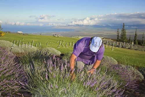 Alii Chang, owner of Alii Kula Lavendar Farm, picking lavendar, Upcountry Maui - Hawaiipictures.com