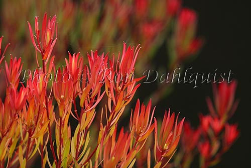 Leucadendron, protea blossoms, located in Kula, Upcountry Maui, Hawaii
