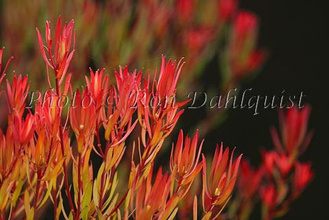 Leucadendron, protea blossoms, located in Kula, Upcountry Maui, Hawaii - Hawaiipictures.com