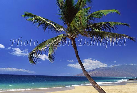 Palm tree on Kamaole Beach, Kihei, Maui, Hawaii - Hawaiipictures.com