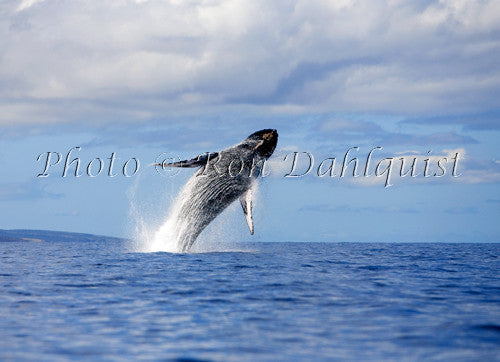 Whale breaching in the waters off of Maui and Molokaini