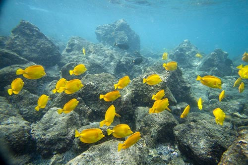 School of Hawaiian Yellow Tang, Zebrasoma flavescens, fish, Makena, Maui, Hawaii