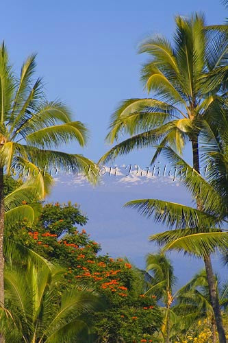 Snow covered Mauna Kea and palm trees, Big Island of Hawaii Picture - Hawaiipictures.com