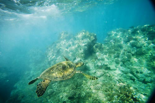 Hawaiian green sea turtle, Makena, Maui, Hawaii