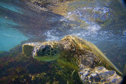 Hawaiian green sea turtle, Makena, Maui, Hawaii Picture