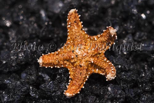 Starfish on lava, Kalapana, Hawaii