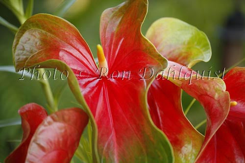 Anthuriums, tropical flowers, Big Island of Hawaii - Hawaiipictures.com