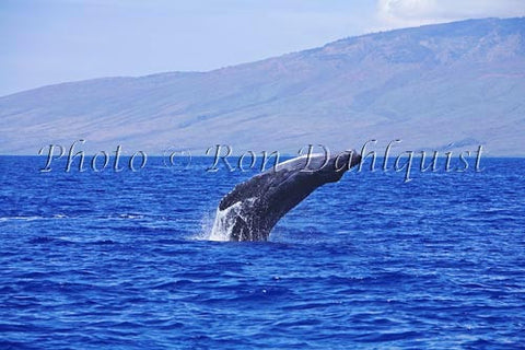 Humpback Whale breaching, Maui, Hawaii