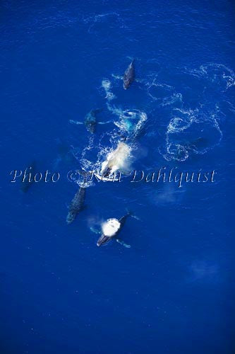 Aerial of Humpback Whales, Maui, Hawaii Picture Photo - Hawaiipictures.com